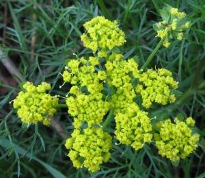 Wild_fennel_flowers